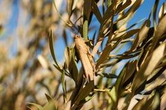 African Locust portrait colours. Filip Locust portrait on the tree royalty free stock photography