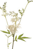 Filipendula. Flower and leaf of herb on white background Stock Photos