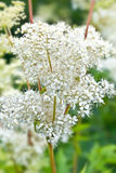 Filipendula on the glade Royalty Free Stock Photography