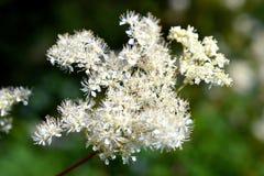 Filipendula Ulmaria är i blom. Arkivbilder