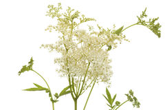 Filipendula ulmaria Royalty Free Stock Photo
