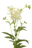 Filipendula ulmaria Stock Photo