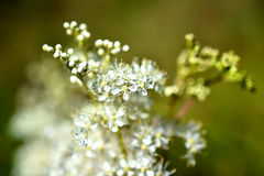Filipendula Ulmaria is in bloom. Royalty Free Stock Image