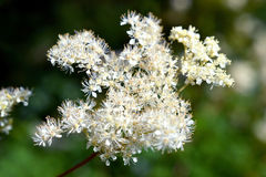 Filipendula Ulmaria is in bloom. Stock Images