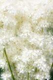 Filipendula ulmaria flower. Close up of Filipendula ulmaria Royalty Free Stock Images