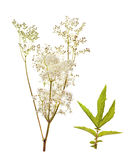 Filipendula ulmaria, meadowsweet Royalty Free Stock Photo