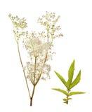 Filipendula ulmaria, meadowsweet. Isolated on white Royalty Free Stock Photo