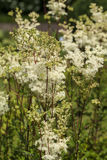 Filipendula ulmaria- meadowsweet or mead wort. Filipendula ulmaria, commonly known as meadowsweet or mead wort. This plant contains salicylic acid the basis of Stock Photos