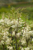 Filipendula ulmaria- meadowsweet or mead wort. Filipendula ulmaria, commonly known as meadowsweet or mead wort. This plant contains salicylic acid the basis of Royalty Free Stock Photo