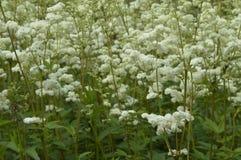 Filipendula ulmaria. Very ornamental plant with creamy white flowers Stock Photos