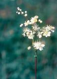 Filipendula vulgaris. Closeup of Filipendula vulgaris (Dropwort or Fern-leaf Dropwort) flower in summer Stock Images