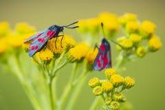 filipendulae de Zygaena da borboleta do burnet do Seis-ponto, polinizando em r fotografia de stock royalty free