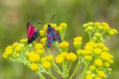 filipendulae de Zygaena da borboleta do burnet do Seis-ponto, polinizando em r fotos de stock