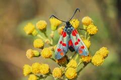 filipendulae de Zygaena da borboleta do burnet do Seis-ponto, polinizando em r foto de stock royalty free