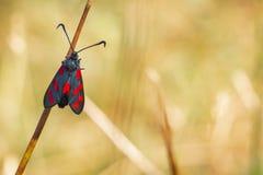 filipendulae de Zygaena da borboleta do burnet do Seis-ponto, polinizando em r imagem de stock