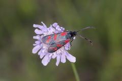 Filipendulae de Zygaena, papillon de Burnet de Six-tache sur la fleur de scabieuse de basse-saxe, Allemagne Photos libres de droits