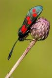 Filipendulae de Zygaena, Seis-ponto Burnet Fotografia de Stock Royalty Free
