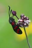 Filipendulae Zygaena бабочки - близкое поднимающее вверх Стоковая Фотография