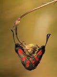 Filipendulaevlinder van Zygaena van het paar het hangen Stock Afbeelding