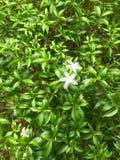 Filipiński jaśminów liści i kwiatów tło Piękny krajowy kwiecisty Obrazy Royalty Free
