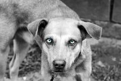Filipijnse hond Stock Afbeeldingen