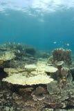 Filipinas corais inoperantes Fotografia de Stock Royalty Free