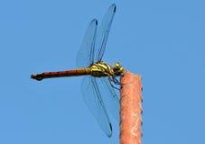 Filipinas, libélula vermelha do pântano Imagem de Stock Royalty Free