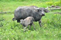 Filipinas, Mindanao. Carabao (búfalo de agua) Fotografía de archivo libre de regalías