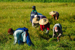 Filipinas, Mindanao, colhendo o arroz Imagens de Stock Royalty Free