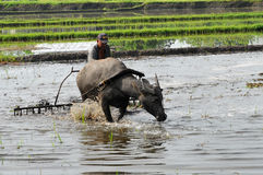 Filipinas, Mindanao, fazendeiro e búfalo-da-índia Fotografia de Stock Royalty Free