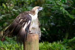 The Filipino eagle. (Pithecophaga jefferyi) is a very rare and endangered species living in the Davao province in Philippines Stock Photography