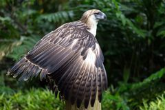 The Filipino eagle. Is a very rare and endangered species living in the Davao province in Philippines Royalty Free Stock Images