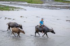 Filipino farmers riding a water cow cart along the volcanic fiel. D near Mount Pinatubo on Aug 27, 2017 in Santa Juliana, Capas, Central Luzon, Philippines Stock Photo