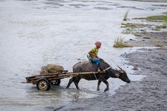 Filipino farmers riding a water cow cart along the volcanic fiel. D near Mount Pinatubo on Aug 27, 2017 in Santa Juliana, Capas, Central Luzon, Philippines Stock Image