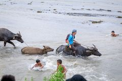 Filipino farmers riding a water cow cart along the volcanic fiel Royalty Free Stock Photography