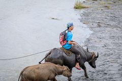 Filipino farmers riding a water cow cart along the volcanic fiel. D near Mount Pinatubo on Aug 27, 2017 in Santa Juliana, Capas, Central Luzon, Philippines Stock Photography