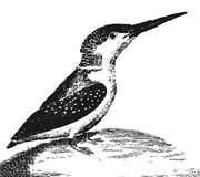 Filipino kingfisher. Vintage engraved illustration. Diderot and d'Alembert encyclopedia (1751-1780 Royalty Free Stock Images