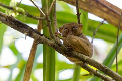 Filipino Tarsier Stock Images