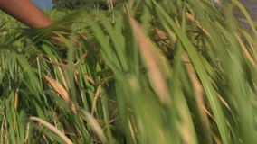 Filipino woman touching long grass with her hand stock video
