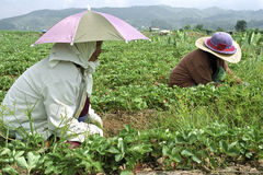 Filipino women working in strawberry field Royalty Free Stock Photo