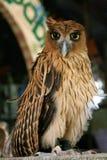 Filippijnse adelaar royalty-vrije stock afbeelding