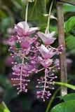 Filippijnse orchidee, een roze en exuberant bloem royalty-vrije stock foto's