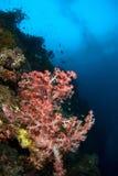 Filippine di corallo molli Fotografie Stock Libere da Diritti