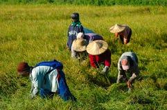 Filippinerna Mindanao som skördar ris Royaltyfria Bilder