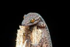 Filippinsk böjelse-toed geckoödla Royaltyfri Bild