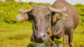 Filippinsk buffel i fält tätt med textsidan upp philippines royaltyfri fotografi
