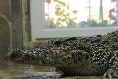 filippinsk krokodil Royaltyfri Fotografi