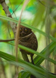 filippinsk mer tarsier arkivfoto