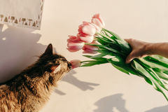 Fille élégante de hippie et ses tulipes sentantes de chat dans le matin dans r Photo stock