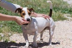 Fille alimentant un chien de Russell de cric Photos libres de droits